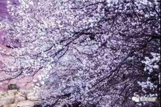 春风化雨 西藏昌都也有桃花盛景等你来!